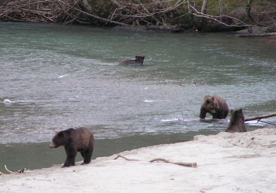 Grizzly Bears on the Mainland of B.C. accessible from Vancouver Island
