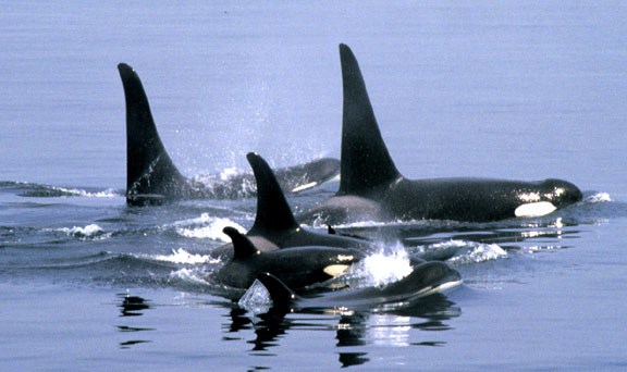 Killer (Orca) Whales in the Broughton Archipelego near Telegraph Cove on Northern Vancouver Island